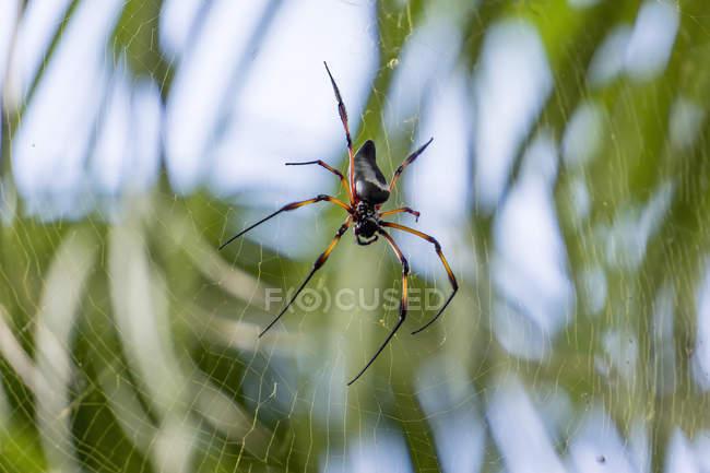 Silk spider (Nephila inaurata) closeup view hanging on web — Stock Photo