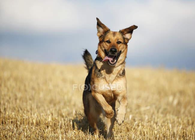 Deutscher Schäferhund Mischling auf Stoppelfeld läuft — Stockfoto