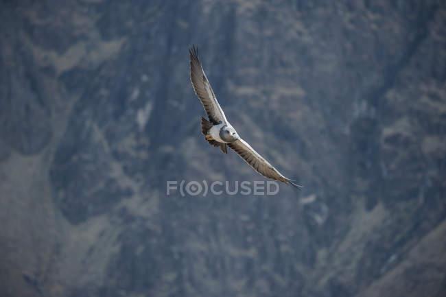 Black-chested buzzard-eagle volant dans les montagnes du Pérou — Photo de stock