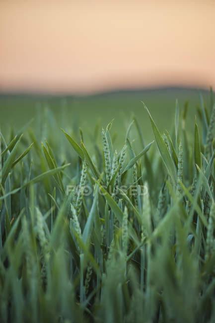 Германия, Рейнланд-Пфальц, поля пшеницы в начале лета и размытый фон — стоковое фото