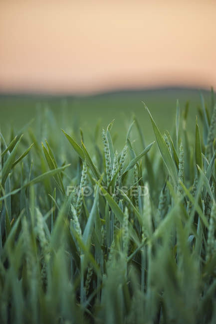 Germany, Rhineland-Palatinate, Wheat field in early summer and blurred background — Stock Photo