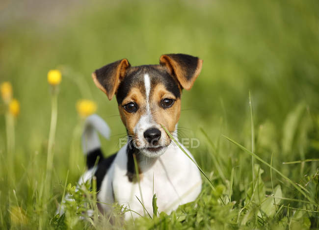 Jack Russel Chiot couché sur l'herbe — Photo de stock