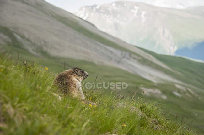 Austria, Carinthia, Kaiser-Franz-Josefs-Hoehe, alpine marmot (marmota marmota) on meadow — стоковое фото