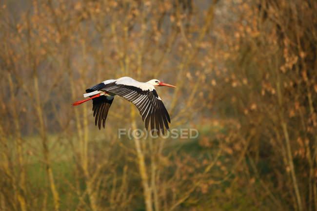 Cicogna bianca volando in sosta d'autunno, vista laterale — Foto stock