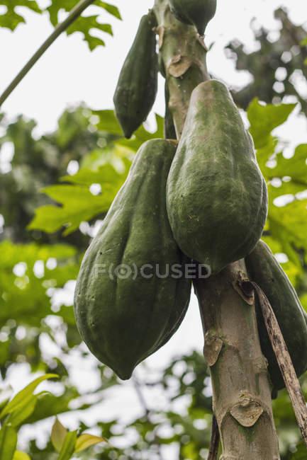 Закри какао стручки висить на дереві, в денний час, Філіппіни — стокове фото