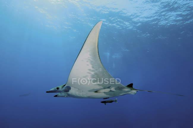 Devil Ray fish swimming underwater — Stock Photo