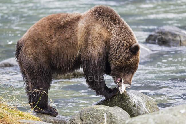 Бурий ведмідь їдять зловив лосося — стокове фото