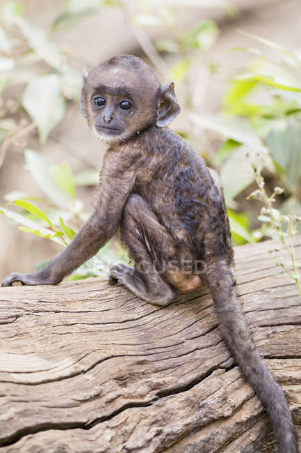 Langur sitting on log — Stock Photo