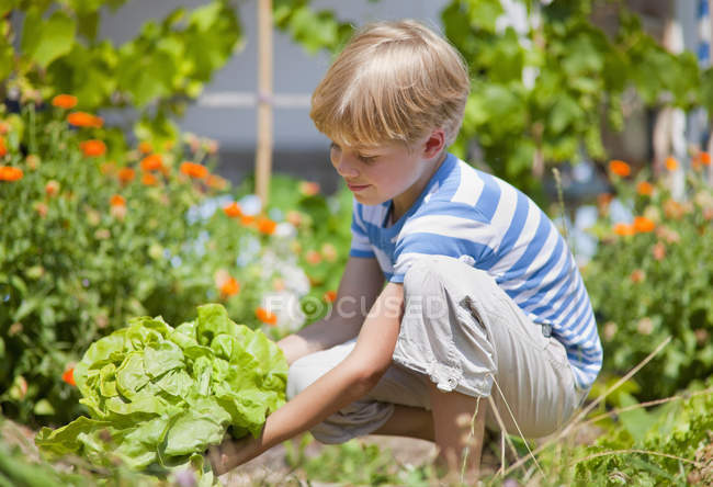 Boy picking lettuce in garden — Stock Photo