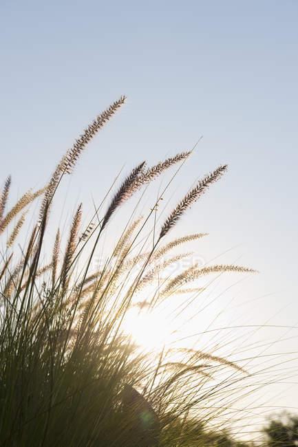 Vista de closeup de grama na praia ao pôr do sol — Fotografia de Stock