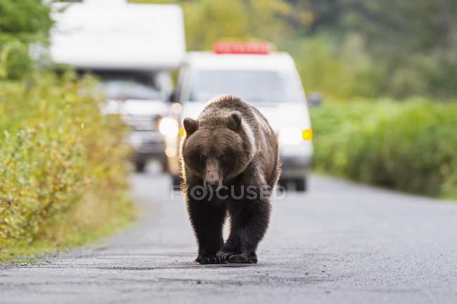 Brown bear walking on road — Stock Photo