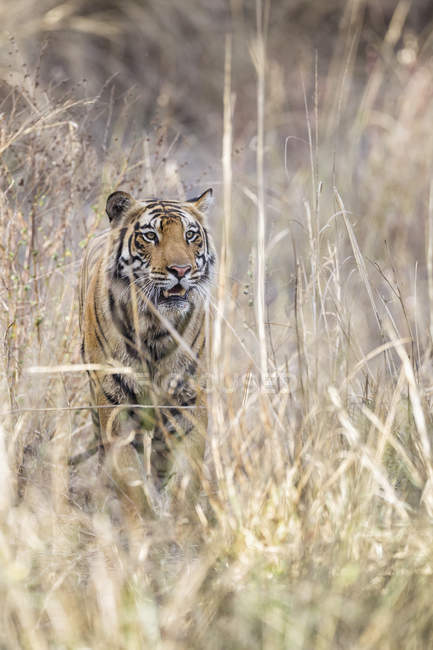 Tigre du Bengale au parc national de Bandhavgarh — Photo de stock