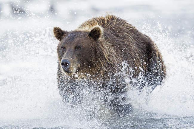 Bear running in Silver salmon creek — Stock Photo