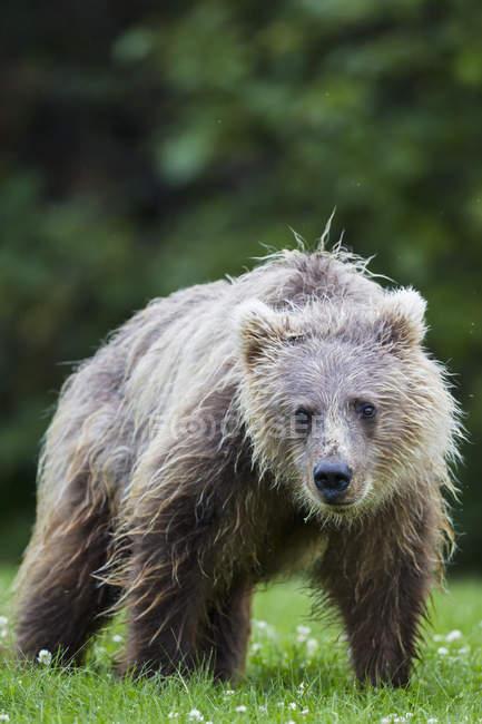 Молодой коричневый медведь на озеро Кларк Национальный парк и заповедник, Аляска, США — стоковое фото