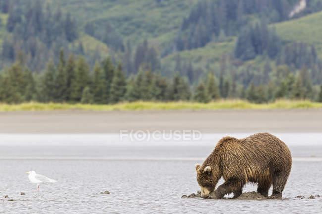Бурий ведмідь риття для молюсків — стокове фото