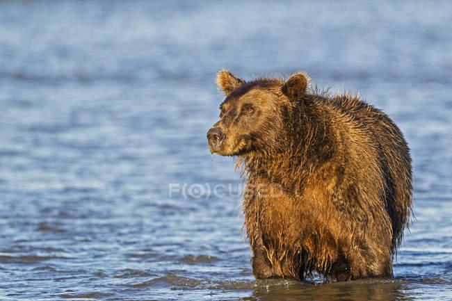 Бурий ведмідь полювання в срібло лосося-Крік — стокове фото