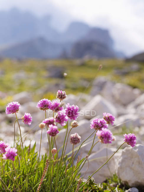 Europe, Italy, Wild flowers in National Park of Sesto Dolomites — Stock Photo