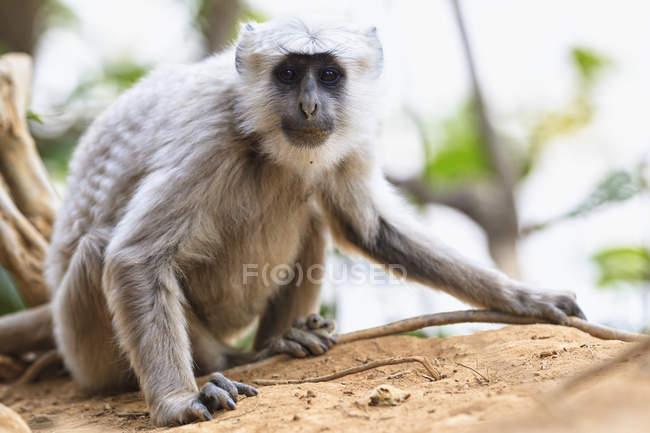 Лангур в Джим Корбетт Національний парк, Уттаракханд, Індія — стокове фото
