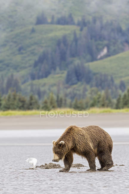Brown bear walking at kake — Stock Photo