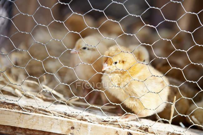 Крупный план курицы в клетке при дневном свете — стоковое фото