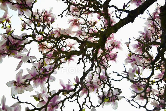 Alemanha, Bavaria, vista da flor de cerejeira — Fotografia de Stock