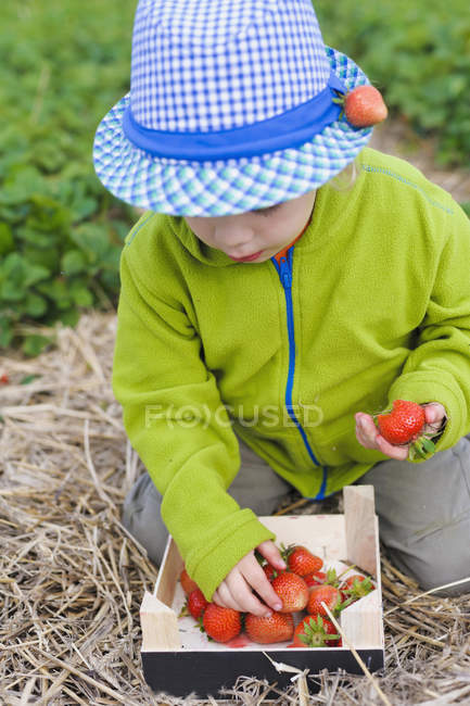 Boy picking strawberries from wooden box, close up — Stock Photo