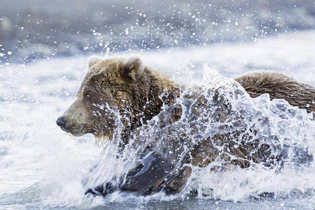 Bear hunting salmon in Silver salmon creek — Stock Photo