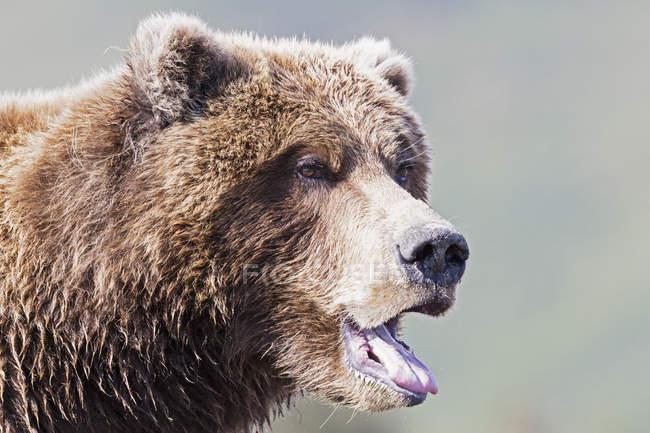 Primo piano dell'orso presso Lake Clark National Park and Preserve, Alaska, Stati Uniti — Foto stock