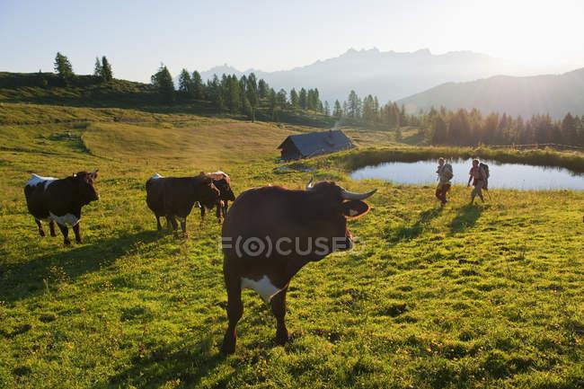 Paare, die durch Wiese mit Kühen — Stockfoto