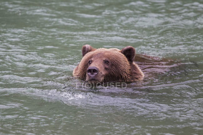 Braunbär in Chilkoot See schwimmen — Stockfoto
