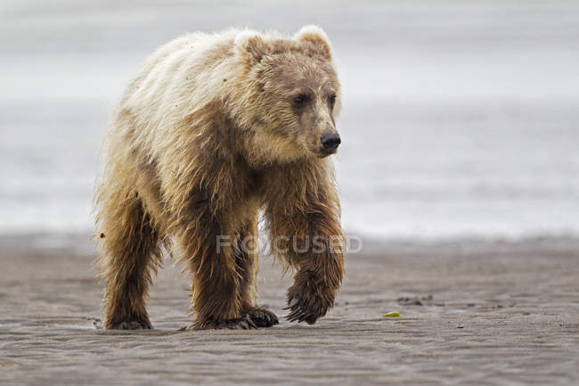 Brown bear cub walking — Stock Photo