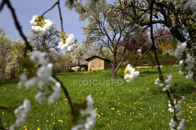 Німеччина, Баварія, перегляд Цвітіння вишні — стокове фото