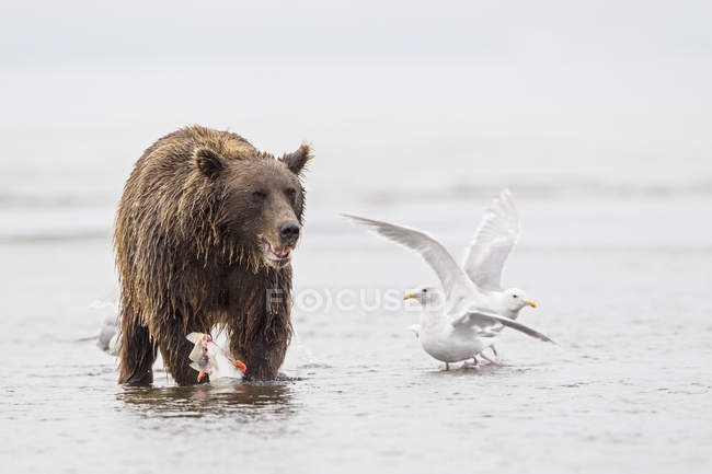 Brown bear with caught salmon and seagulls — Stock Photo
