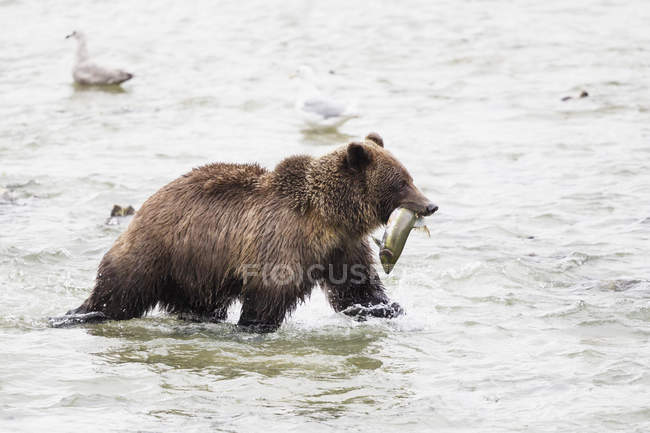 Brown bear hunting in Chilkoot Lake — Stock Photo