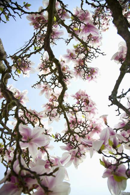 Ramas de cerezo con flor - foto de stock