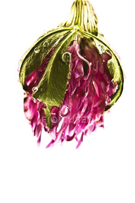 Klee Blüte mit Tautropfen — Stockfoto