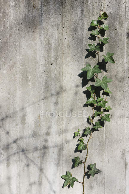 Close-up of Ivy growing on concrete wall — Stock Photo