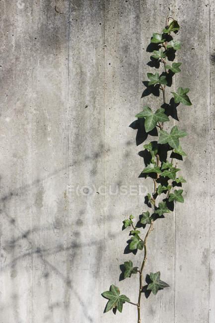 Nahaufnahme von Efeu wächst auf Betonwand — Stockfoto