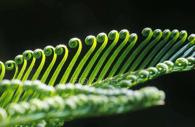 Alemanha, Close-up de samambaia de floresta na primavera — Fotografia de Stock