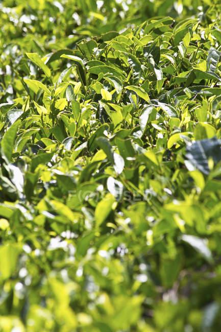 Vista de cerca del campo de té negro a la luz del día, Munnar, Kerala, India - foto de stock