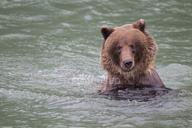 Brown bear swimming in Lake — Stock Photo