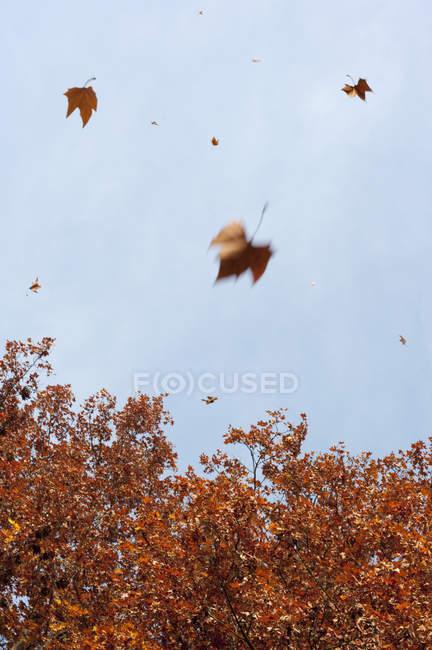 Alemanha, Hesse, Frankfurt, árvore e folhas que caem — Fotografia de Stock