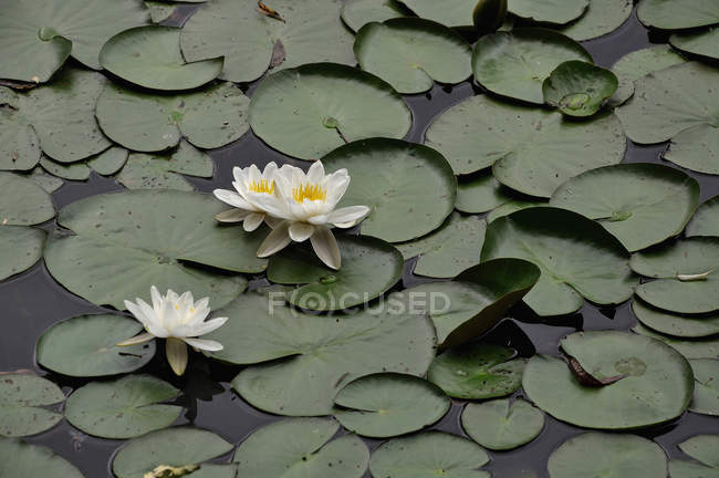 Germany, Bavaria, White water lilies in pond during daytime — Stock Photo