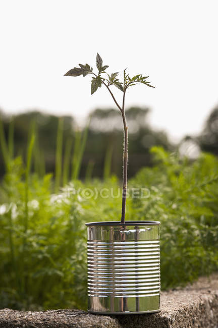 Close-up of tomato plant growing in tin can at vegetable garden — Stock Photo