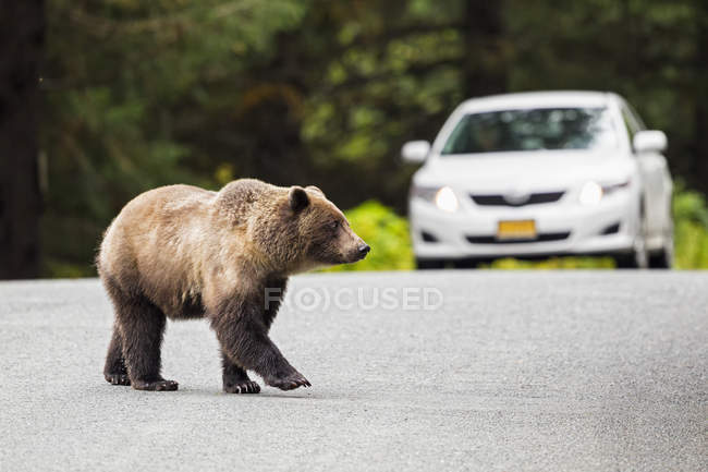 Brown bear walking on road — Stock Photo