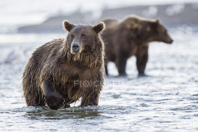 Brown bear in Silver Salmon Creek — Stock Photo