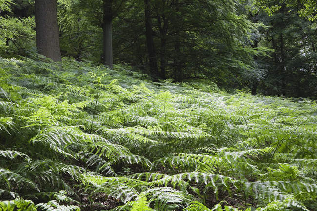 Green forest with fern leaves on the glade — Stock Photo