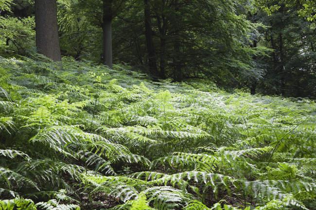 Зеленый лес с Папоротник листья на поляне — стоковое фото