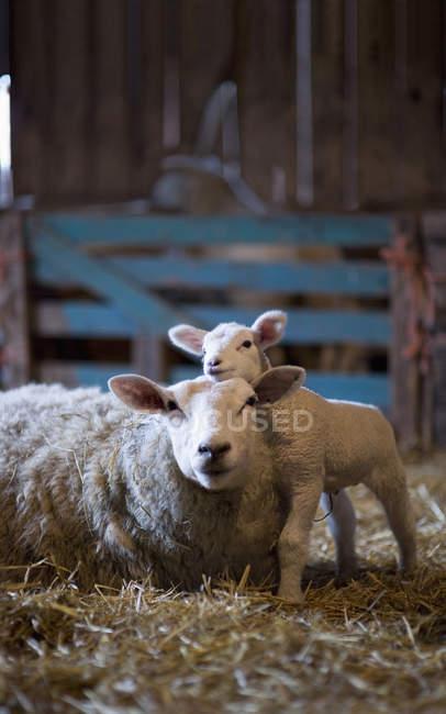 Germania, pecora e Agnello sdraiato sul fieno in granaio — Foto stock