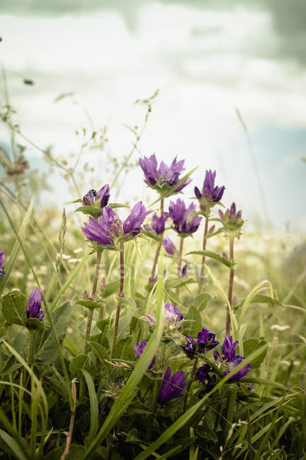 Close-up of gentian flowers in bloom on meadow — Stock Photo